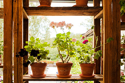 Potted plants with flowers on wooden shelf - p555m1532764 by Caterina Bernardi