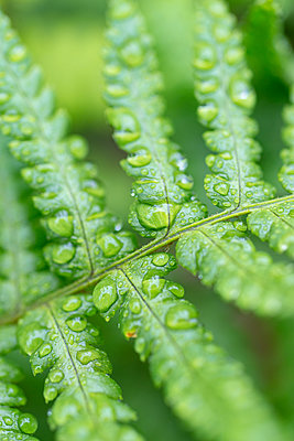 Frond of  Dryopteris affinis fern with raindrops. - p1433m2019992 by Wolf Kettler