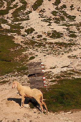 Schaf in den Dolomiten - p470m2020329 von Ingrid Michel
