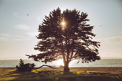 Single tree at the seaside at sunset light, California, USA - p756m2157840 by Bénédicte Lassalle