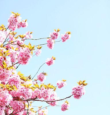 Cherry blossoms - p0453060 by Jasmin Sander