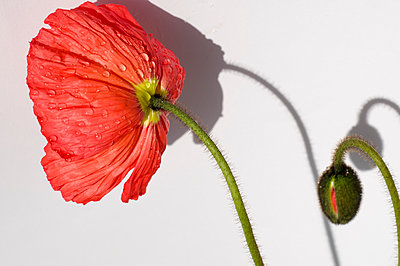 Poppy - p1201m1050042 by Paul Abbitt