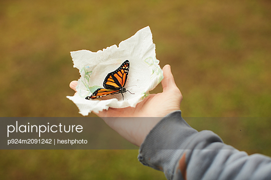Monarch butterfly on tissue in palm - p924m2091242 by heshphoto