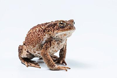 European toad, Bufo bufo - p1437m2057013 by Achim Bunz
