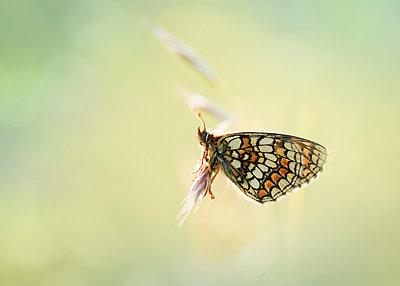 Heath Fritillary butterfly on blossom - p300m2005674 von Brigitte Stehle