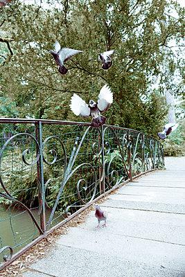 Tauben fliegen aufgeschreckt hoch - p432m1586089 von mia takahara