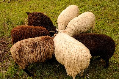 Schafe - p470m954737 von Ingrid Michel