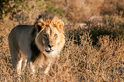 Lion - p1065m885983 by KNSY Bande
