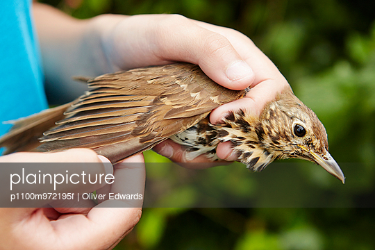 A girl holding a wild bird carefully in her hands checking the wing.