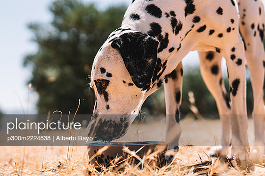 Dalmatian dog drinking water from bowl on field - p300m2224838 by Alberto Bayo