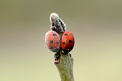 Two seven-spotted ladybirds, Coccinella septempunctata, on a twig covered with frost - p300m981470f by Mark Johnson