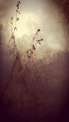 Grasses in mist - p945m2178885 by aurelia frey