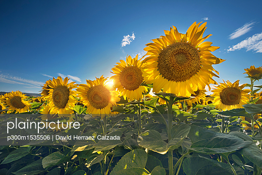 plainpicture - plainpicture p300m1535506 - Sunflower field against the... - plainpicture/Westend61/David Herraez Calzada