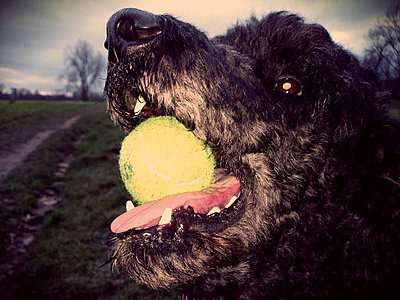 Cologne, North Rhine-Westphalia, Germany, dog, poodle with ball on the Rhine meadows - p300m1008530f by Jan Tepass