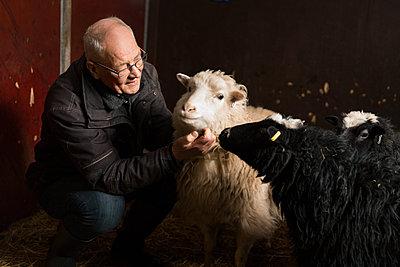 Senior man stroking sheep - p312m2092135 by Susanne Kronholm