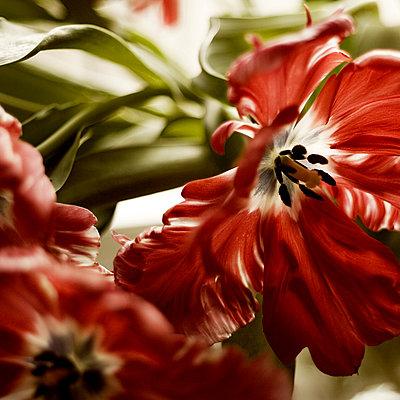 Tulpen  - p979m909987 von Zickert