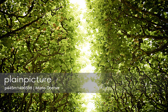 Canopy of leaves - p445m1496598 by Marie Docher