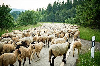 Herd of Sheep - p1203m1044640 by Bernd Schumacher