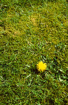 Single yellow dandelion in a patch of grass and moss. - p1433m1531951 by Wolf Kettler
