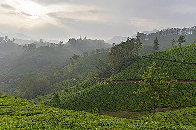 Teeplantage Munnar - p759m1207275 von Stefan Zahm
