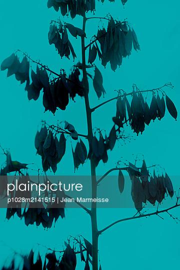 Five-seeded plume-poppy pods (Macleaya cordata) - p1028m2141515 by Jean Marmeisse