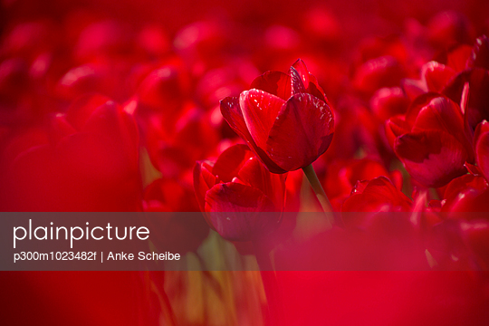 Germany, red tulip field