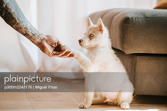 Puppy giving pay in owner hand while sitting at home - p300m2243176 by Miguel Frias