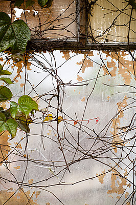 Broken and cracked window covered with virginia creeper - p1047m1510725 by Sally Mundy