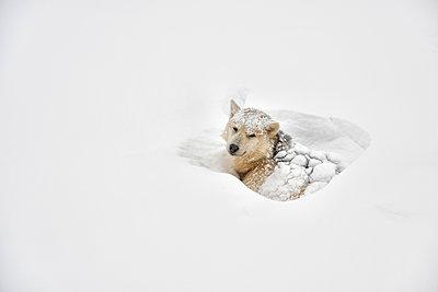 Greenland, husky lying in snow - p300m1587176 von Alun Richardson