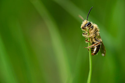 Miner bee, Andrena, hanging at blade of grass in front of green background - p300m950584f by Mark Johnson