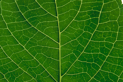 Detail of leaf rib and venation of a hydrangea leaf - p8842547 by Gerry Ellis