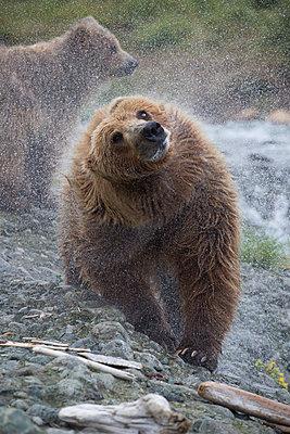 Grizzly Bear cub shaking, Chenik River, Alaska - p884m1510096 by Matthias Breiter