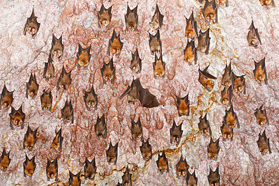 Bats in cave - p312m996474f by Jens Rydell