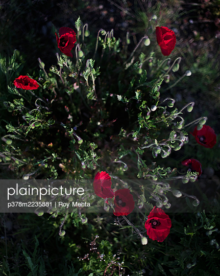Red poppies - p378m2235881 by Roy Mehta