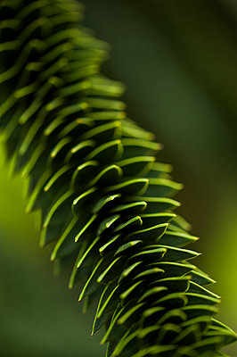 Close-up of a monkey puzzle tree branch - p1047m1007723 by Sally Mundy