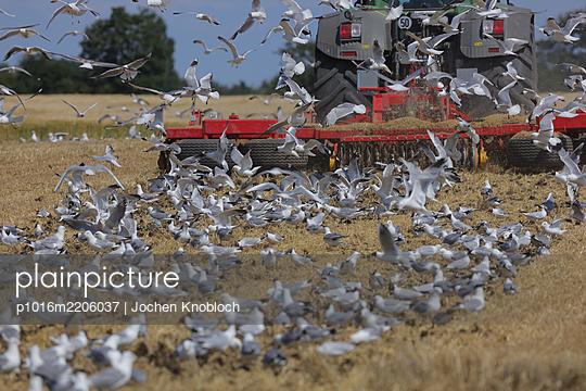 Seagulls behind Plow - p1016m2206037 by Jochen Knobloch