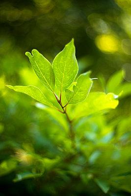Close-up of fresh green leaves growing at Acadia National Park - p1166m1543262 by Cavan Social