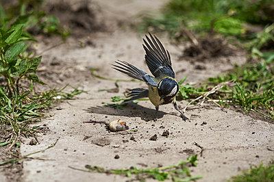 tit bird eats grubbing grub on earth, spring, village - p1166m2193971 by Cavan Images