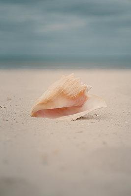 USA, Florida, Navarre, Sea snail - p1617m2278923 by Barb McKinney