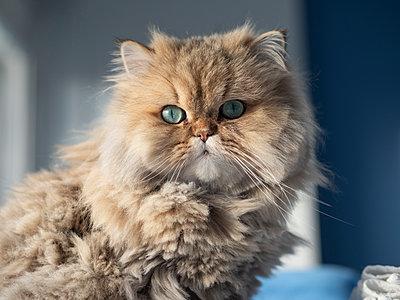 Katze, Portrait - p299m2087231 von Silke Heyer