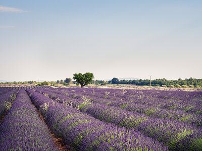 France, Provence, lavender field - p300m1581051 by Susan Brooks-Dammann