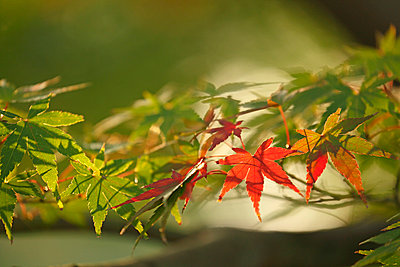 Red maple leaves - p307m979210f by Tetsuya Tanooka