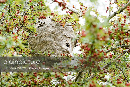 Wide view of a bee's nest hanging in a crab apple tree - p1166m2191821 by Cavan Images