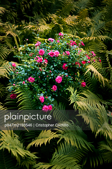 Rose bush overgrown by fern - p947m2193546 by Cristopher Civitillo