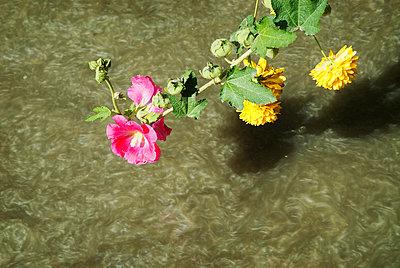 Blumen - p1205m1032939 von Christopher Klettermayer