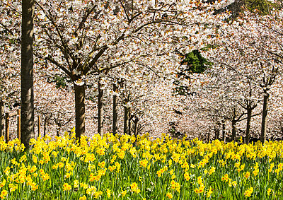 Part of the Cherry Orchard in The Alnwick Garden, Northumberland which has 327 white cherry trees 'Tai Haku', known as the great white. Underplanted with yellow daffodils; Alnwick,Northumberland, England - p442m2004266 by Margaret Whittaker