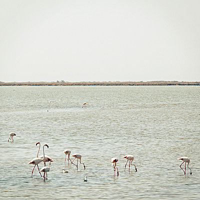 Flamingos - p5679616 by Claire Dorn