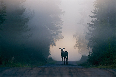 A moose on a foggy road, Sweden - p575m1074839f by Kent Storm