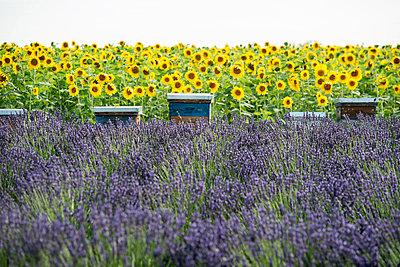 Lavendelfeld und Sonnenblumen und Bienenstöcke, bei Valensole, Plateau de Valensole, Alpes-de-Haute-Provence, Provence, Frankreich - p1316m1161017 von Daniel Schoenen