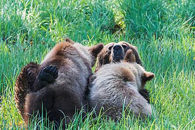 Grizzly bear  feeding her cubs in the sedge grass, Khutzymateen Bear Sanctuary; British Columbia, Canada - p442m1033553f by Robert Postma